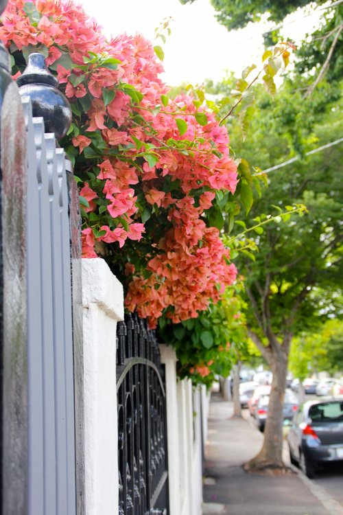 bougainvillea lining all the streets